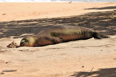 Monk seal sunbathing on the beach.