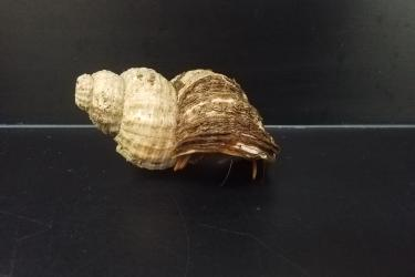 Photo of a Black Eyed Hermit crab hiding in its shell on a lab counter.
