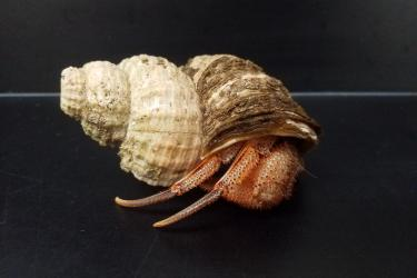 Photo of a Black Eyed Hermit crab emerging from its shell on a lab counter.