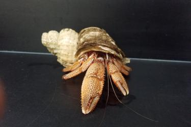 Photo of a Black Eyed Hermit crab emerging further from its shell on a lab counter.