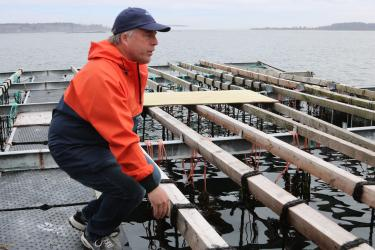 A waterman looking over several planks loaded with mussel dropper ropes that are dipping into the water.