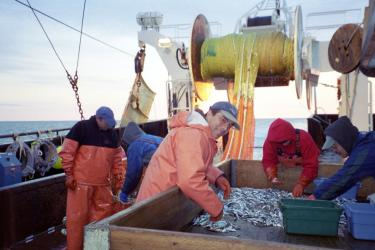 Researchers sort juvenile and small fishes on a trawler deck.