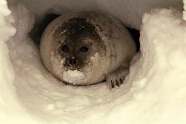 A ringed seal peers out from a snow cave.