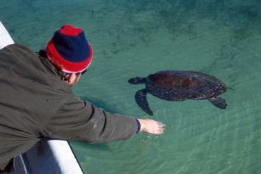 Sea turtle biologist rescuing a cold-stunned green turtle.