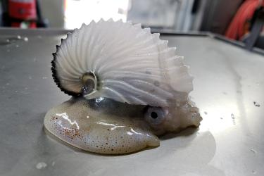 A paper nautilus,  also called an argonaut, is a type of octopus.