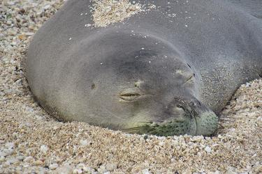 Zoomed-in Hawaiian monk seal head resting on the sand.
