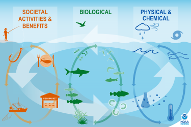 Illustration showing factors that drive change in the marine ecosystem grouped into three interconnected categories. The Societal Activities and Benefits category represents human uses.  It includes commercial and recreational fishing, fish markets, and our seafood consumption. The biological drivers include all non-human components of the food web from microscopic plants to top ocean predators. The physical and chemical drivers include weather, storms, currents, tides, temperatures, physical habitats, and