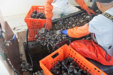 Two workers with orange gloves sort clams on a boat and put them into orange baskets.
