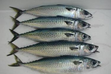 Five Atlantic chub mackerel placed in a column for sale at the fish market. Credit: Lund's Fisheries