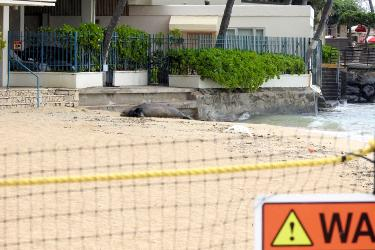 Hawaiian monk seal mom and pup behind barriers (seal resting areas).