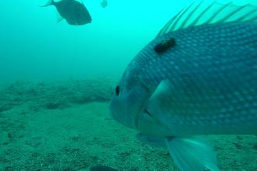 Red snapper with an acoustic transmitter.