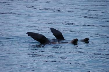 Steller sea lions using their flippers to regulate their body temperature.