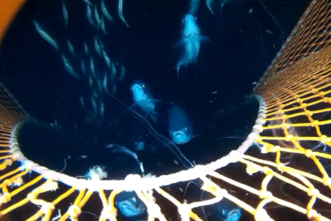 fish observed underwater inside a net