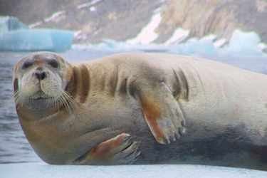 Photo of a bearded seal lying on its side on an ice floe.