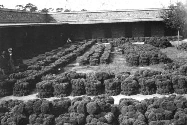 Rows of sponges ready for sale at auction in Tarpon Springs, Florida, 1938