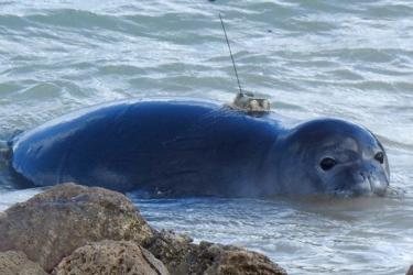Close-up of Hawaiian monk seal pup in water with a GPS transmitter on its back.