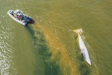 A National Park Service whale research vessel tows the dead minke whale through muddy waters after recent rain storms. © 2021 Sean Neilson