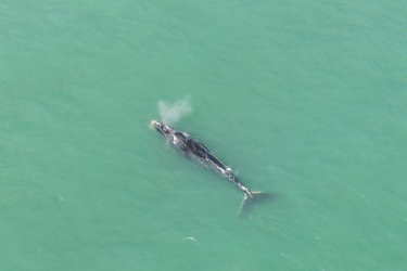 An entangled North Atlantic right whale known as Cottontail trails rope along its right side off the Florida coast.
