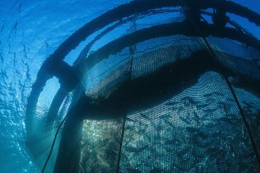 An underwater view of a school of royal bream swimming in an aquaculture net pen.
