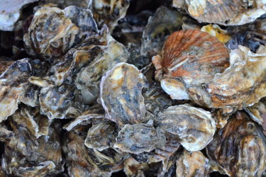 A group of around 20 Pacific oysters, Crassostrea gigas.