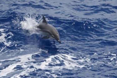 A Clymene dolphin