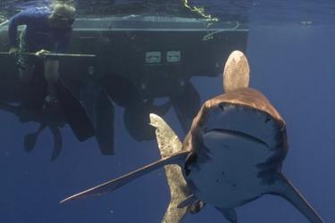 Oceanic whitetip shark with John Carlson in the Bahamas.  The Bahamas is one of the few places in the northwest Atlantic Ocean where oceanic whitetip sharks are still commonly encountered.