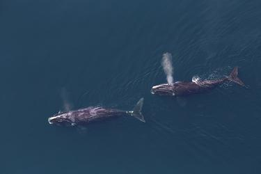 Two North Atlantic right whales swim, one behind the other, from right to left side of the image