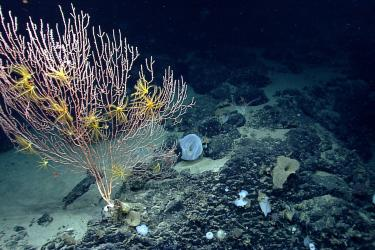 A colony of bamboo coral with crinoids on Mytilus Seamount, which is within both the Northeast Canyons and Seamounts Marine National Monument and the Georges Bank Deep-Sea Coral Protected Area.