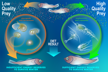 Infographic showing that pollock that eat low quality prey build insufficient energy reserves to survive winter, while pollock who consume high quality prey do build sufficient energy reserves for winter.
