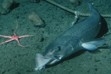 Underwater photo of a sablefish biting bait along the sea bottom with a sea star in the background.