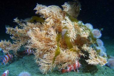 Underwater photo of orange and white striped rockfish and sea urchins congregating around a large red tree coral on the seafloor.