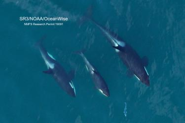 overhead photograph of 3 Southern Resident killer whales chasing a salmon
