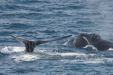 Tail of one north Pacific right whale shown as it dives next to second whale with head above water.