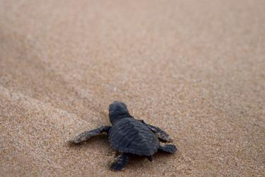 Sea turtle hatchling on the sand in the Gulf of Mexico.