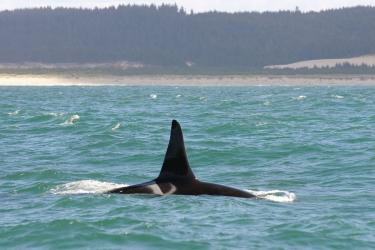 Dorsal fin of a killer whale swimming off the Washington Coast