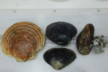 Four kinds of two-shelled sea animals. The sea scallop is the largest. The two clams are displayed side by side to see the differences in shape. A cluster of broken shells are tethered to the mussel with thin strands of hairlike threads.