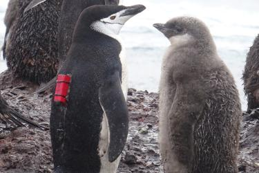 Penguin with chinstrap camera