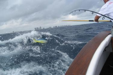 An angler hooks a dolphinfish off the coast of Florida. Photo by Ian VanMoorhe of Fort Lauderdale, Florida.