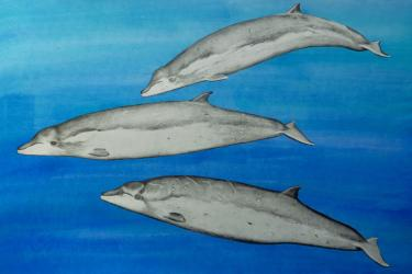 Illustration of thre baked whales in profile