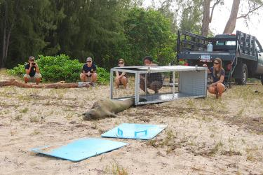 Hawaiian monk seal being released back into the wild by veterinarians.