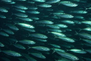1280x800-Coastal-Pelagics_Pacific-mackerel-at-Tanner-Bank_SWFSC_SWFSC.jpg