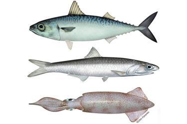 640x427-coastal-pelagic-species-west-coast.jpg