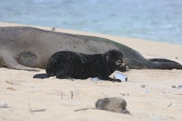 Adult monk seal and her pup on the beach.