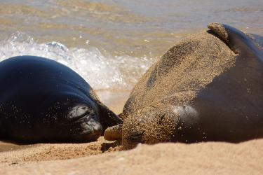 Adult monk seal and her pup resting alongside each other on the beach on a sunny day.