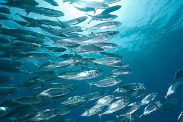 900x600-atlantic-mackerel-iStock.jpg