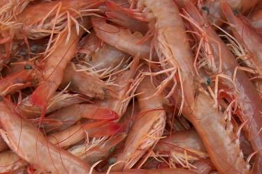 Galv_Brown_Shrimp_1280x800.png