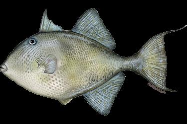 gray_triggerfish.png