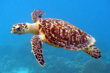 Hawksbill sea turtle swimming underwater.