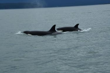 A pair of killer whales at sea