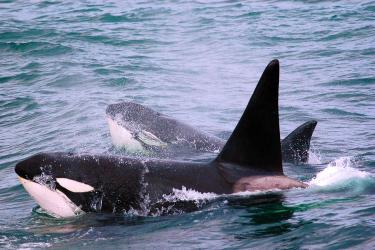 KillerWhaleResearchInAlaska-killerwhale-lrg-9 - retouched.jpg